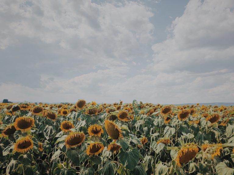 Sonnenblumen Wanderei