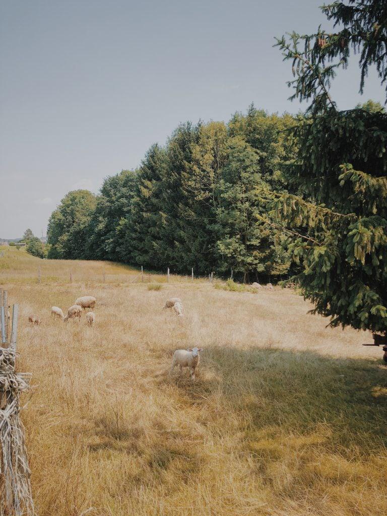 Schafe Wanderei
