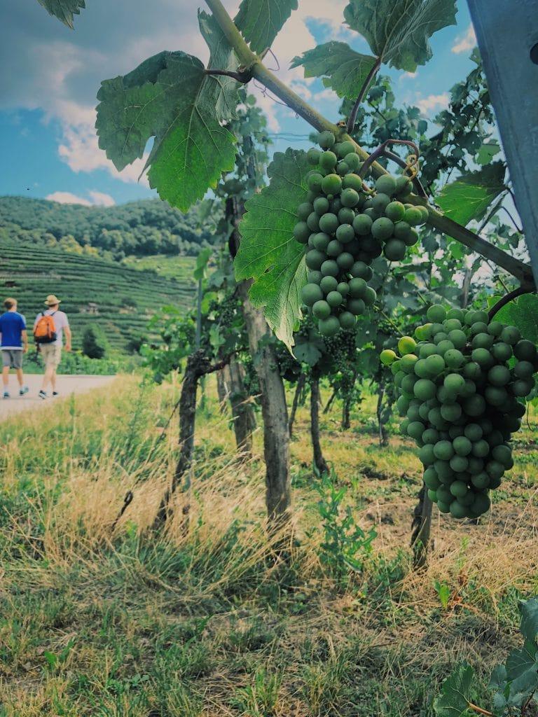 Weintrauben Wanderei